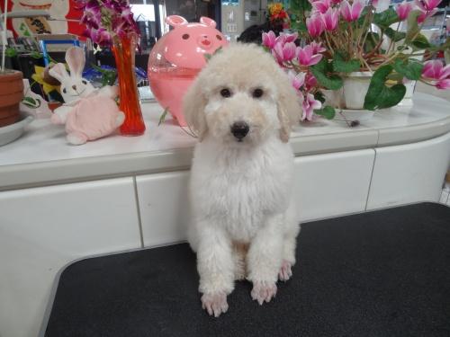 スタンダードプードルの子犬(ID:1256211031)の1枚目の写真/更新日:2017-04-11