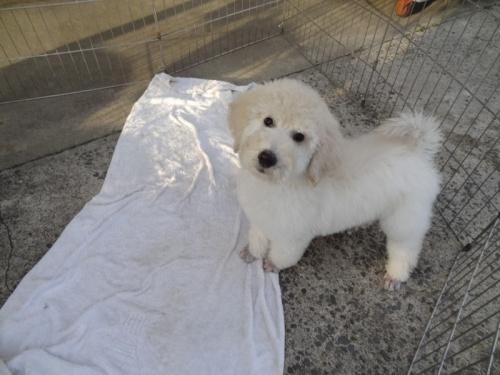 スタンダードプードルの子犬(ID:1256211031)の2枚目の写真/更新日:2017-04-11