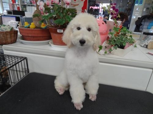 スタンダードプードルの子犬(ID:1256211031)の7枚目の写真/更新日:2017-05-09
