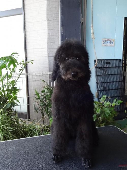 スタンダードプードルの子犬(ID:1256211032)の1枚目の写真/更新日:2017-04-12