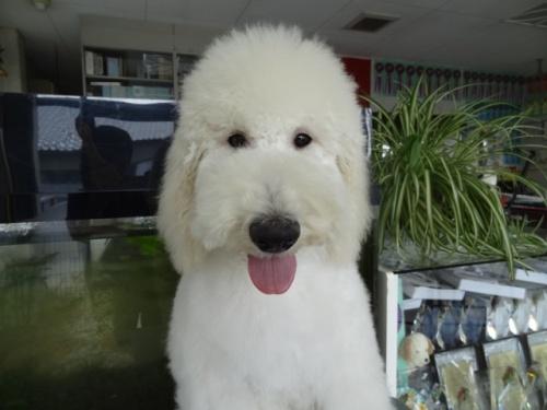スタンダードプードルの子犬(ID:1256211034)の1枚目の写真/更新日:2017-04-25