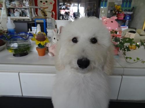 スタンダードプードルの子犬(ID:1256211035)の2枚目の写真/更新日:2017-04-25