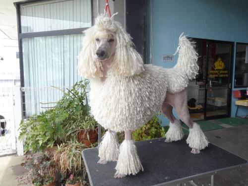 スタンダードプードルの子犬(ID:1256211035)の4枚目の写真/更新日:2017-04-25