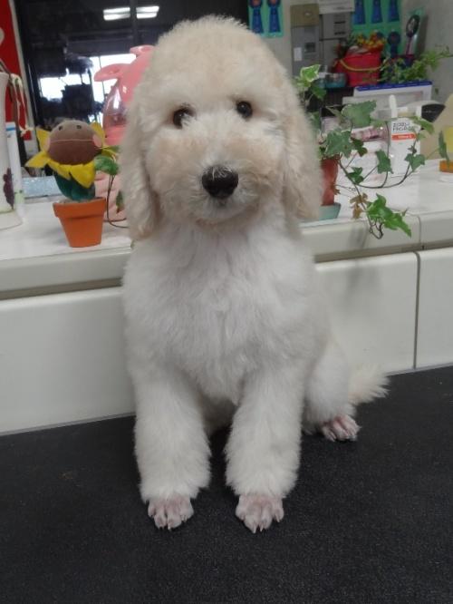 スタンダードプードルの子犬(ID:1256211037)の4枚目の写真/更新日:2017-09-27