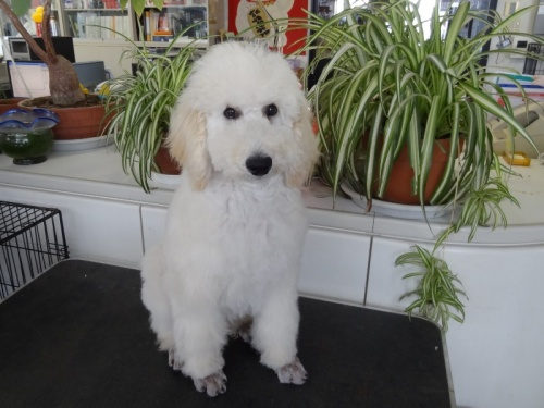 スタンダードプードルの子犬(ID:1256211039)の1枚目の写真/更新日:2018-01-23