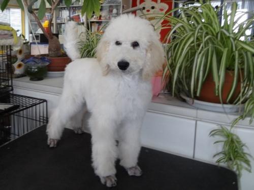 スタンダードプードルの子犬(ID:1256211039)の10枚目の写真/更新日:2018-01-23