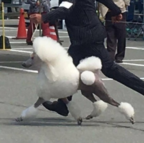 スタンダードプードルの子犬(ID:1256211039)の5枚目の写真/更新日:2017-10-06