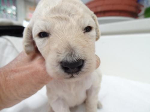 スタンダードプードルの子犬(ID:1256211040)の1枚目の写真/更新日:2017-10-14