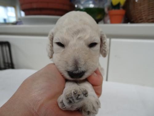スタンダードプードルの子犬(ID:1256211042)の1枚目の写真/更新日:2017-10-14