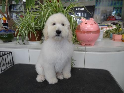 スタンダードプードルの子犬(ID:1256211042)の6枚目の写真/更新日:2017-12-24