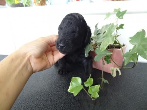 スタンダードプードルの子犬(ID:1256211045)の1枚目の写真/更新日:2017-10-15