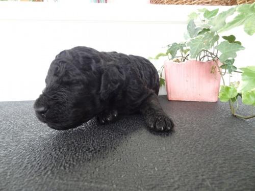スタンダードプードルの子犬(ID:1256211046)の1枚目の写真/更新日:2017-10-15