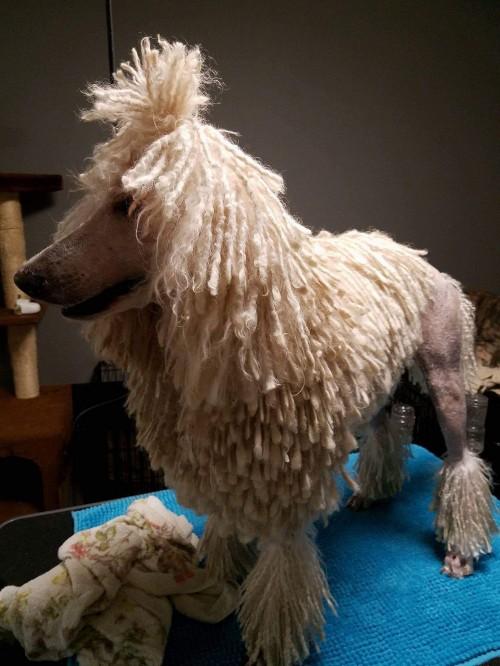 スタンダードプードルの子犬(ID:1256211046)の5枚目の写真/更新日:2017-11-08