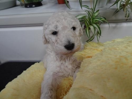 スタンダードプードルの子犬(ID:1256211047)の1枚目の写真/更新日:2017-11-10