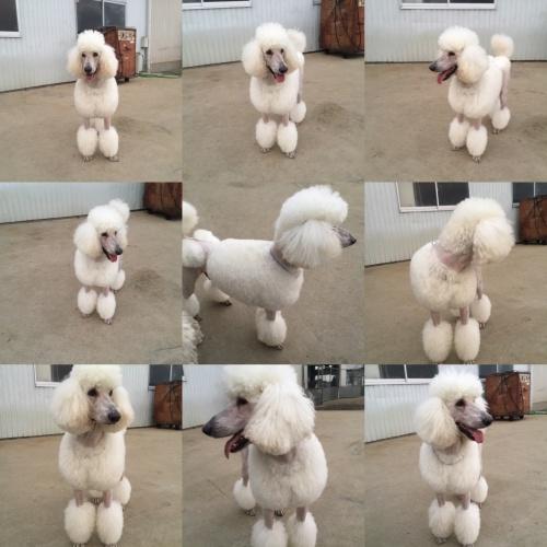 スタンダードプードルの子犬(ID:1256211047)の4枚目の写真/更新日:2017-11-10