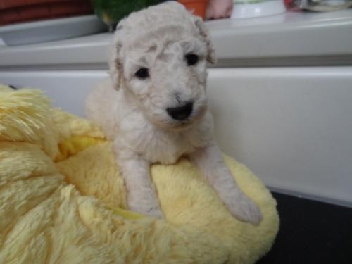 スタンダードプードルの子犬(ID:1256211048)の1枚目の写真/更新日:2017-11-10