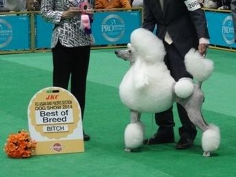 スタンダードプードルの子犬(ID:1256211048)の2枚目の写真/更新日:2017-11-10