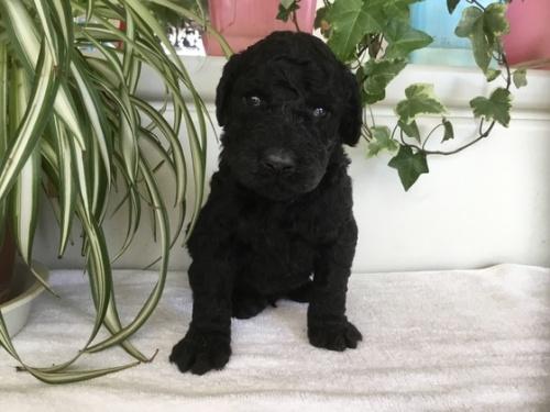 スタンダードプードルの子犬(ID:1256211049)の1枚目の写真/更新日:2018-03-01