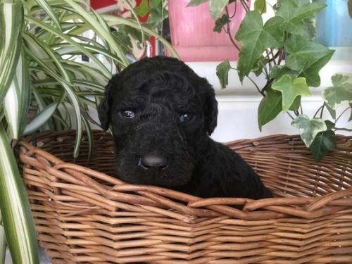 スタンダードプードルの子犬(ID:1256211050)の1枚目の写真/更新日:2018-03-01