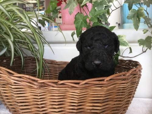 スタンダードプードルの子犬(ID:1256211051)の1枚目の写真/更新日:2018-03-01