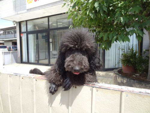スタンダードプードルの子犬(ID:1256211054)の1枚目の写真/更新日:2018-04-13