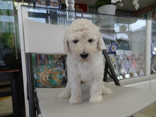 スタンダードプードルの子犬(ID:1256211058)の4枚目の写真/更新日:2018-07-06