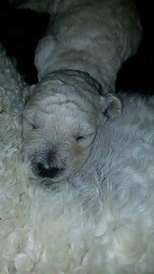 スタンダードプードルの子犬(ID:1256211059)の1枚目の写真/更新日:2018-05-27