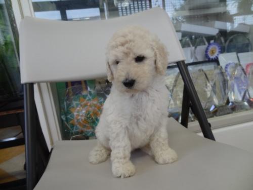スタンダードプードルの子犬(ID:1256211059)の3枚目の写真/更新日:2018-07-06