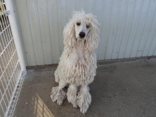 スタンダードプードルの子犬(ID:1256211060)の3枚目の写真/更新日:2018-05-27
