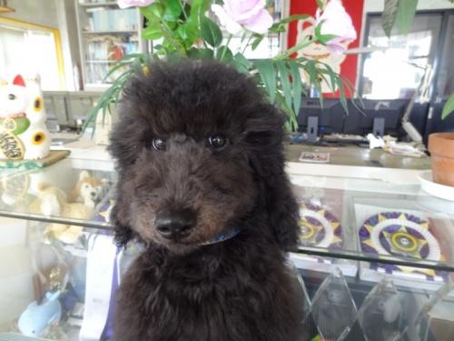 スタンダードプードルの子犬(ID:1256211061)の1枚目の写真/更新日:2018-05-27