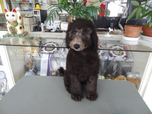 スタンダードプードルの子犬(ID:1256211062)の1枚目の写真/更新日:2018-06-15