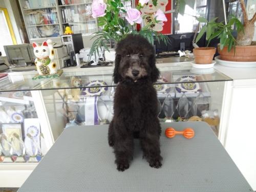 スタンダードプードルの子犬(ID:1256211065)の1枚目の写真/更新日:2018-06-15