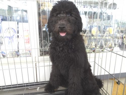 スタンダードプードルの子犬(ID:1256211066)の1枚目の写真/更新日:2018-07-04