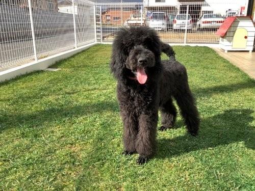 スタンダードプードルの子犬(ID:1256211090)の1枚目の写真/更新日:2019-08-15