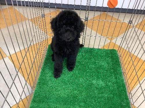 スタンダードプードルの子犬(ID:1256211092)の1枚目の写真/更新日:2019-08-15