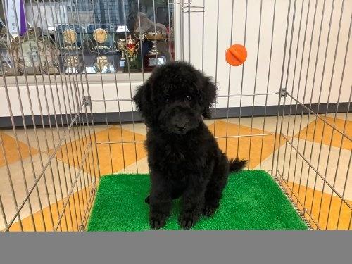 スタンダードプードルの子犬(ID:1256211092)の2枚目の写真/更新日:2019-08-15