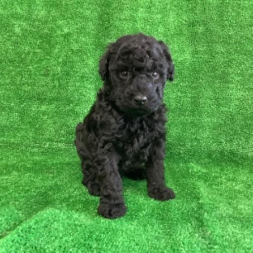 スタンダードプードルの子犬(ID:1256211148)の1枚目の写真/更新日:2021-01-18
