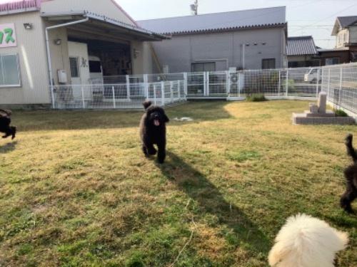 スタンダードプードルの子犬(ID:1256211148)の4枚目の写真/更新日:2021-01-18
