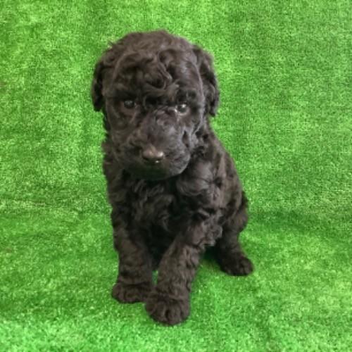 スタンダードプードルの子犬(ID:1256211149)の1枚目の写真/更新日:2021-01-18