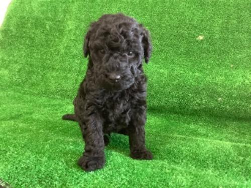 スタンダードプードルの子犬(ID:1256211150)の1枚目の写真/更新日:2021-01-18