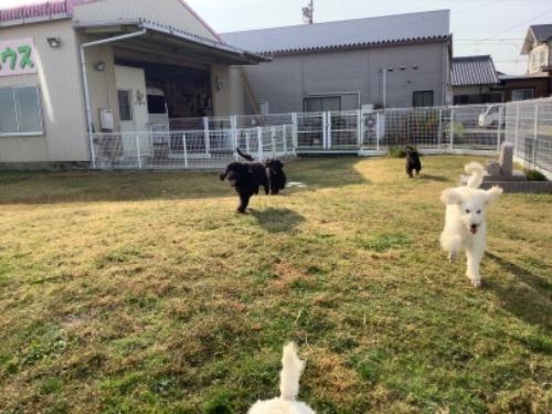 スタンダードプードルの子犬(ID:1256211150)の4枚目の写真/更新日:2021-01-18