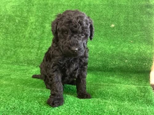 スタンダードプードルの子犬(ID:1256211151)の1枚目の写真/更新日:2021-01-18
