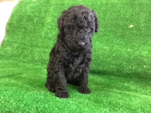 スタンダードプードルの子犬(ID:1256211152)の1枚目の写真/更新日:2021-01-18