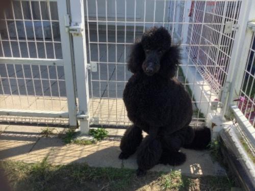 スタンダードプードルの子犬(ID:1256211152)の2枚目の写真/更新日:2021-01-18