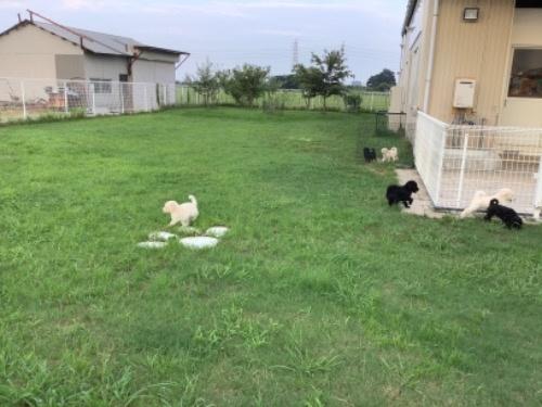 スタンダードプードルの子犬(ID:1256211152)の4枚目の写真/更新日:2021-01-18