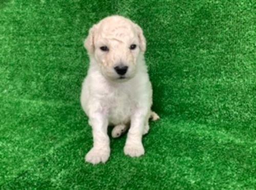 スタンダードプードルの子犬(ID:1256211166)の1枚目の写真/更新日:2021-05-09