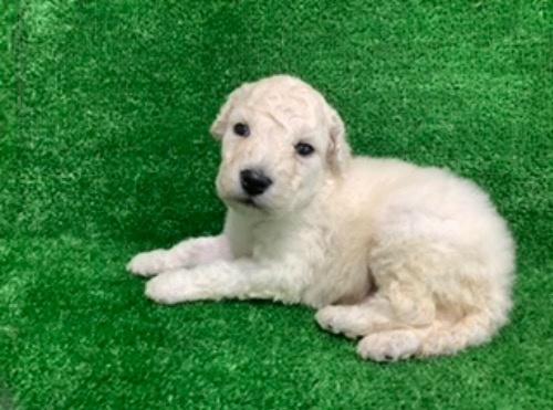 スタンダードプードルの子犬(ID:1256211166)の2枚目の写真/更新日:2021-05-09