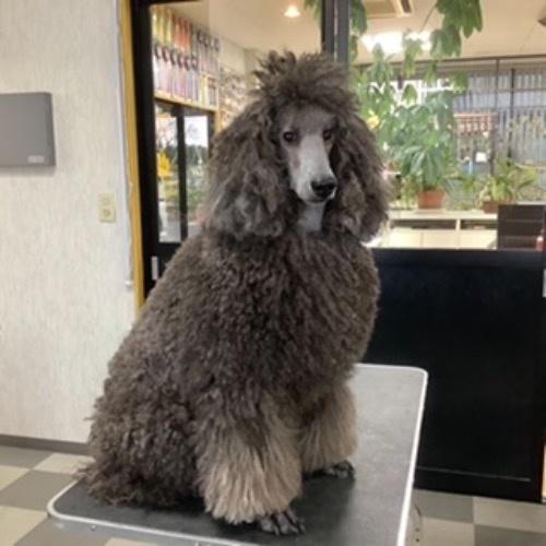 スタンダードプードルの子犬(ID:1256211166)の3枚目の写真/更新日:2021-05-09
