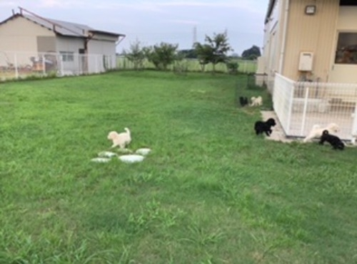 スタンダードプードルの子犬(ID:1256211166)の5枚目の写真/更新日:2021-05-09