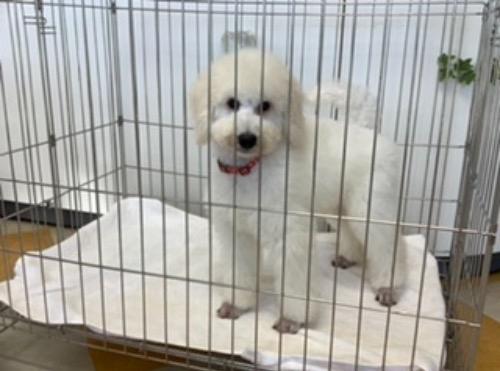 スタンダードプードルの子犬(ID:1256211167)の1枚目の写真/更新日:2021-05-09